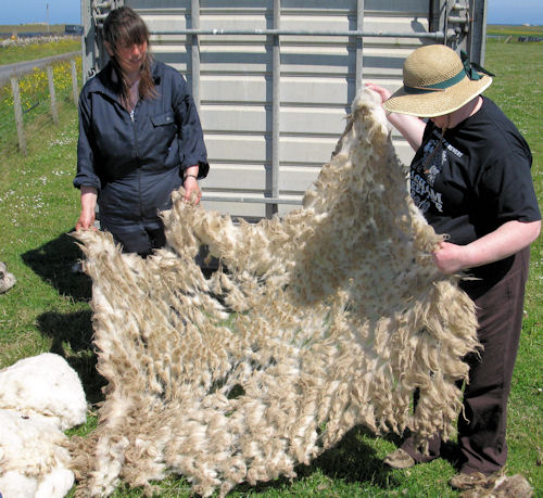 North Ronaldsay fleece opened out